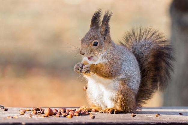 Czerwona wiewiórka na gałąź w jesieni