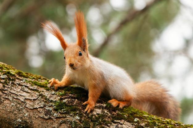 Czerwona wiewiórka siedzi na drzewie i patrzy w kamerę.