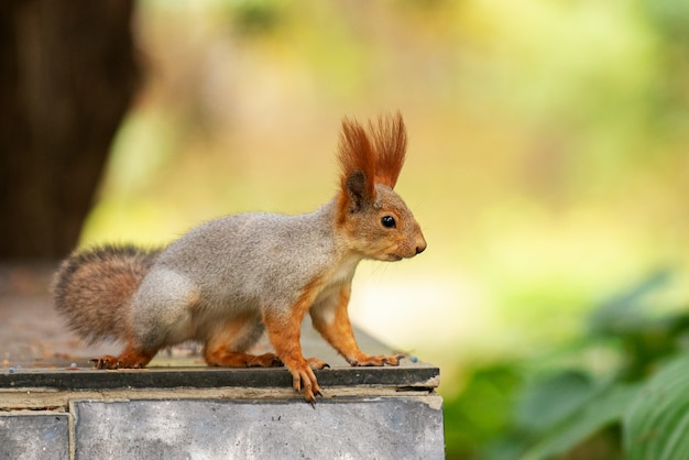 Czerwona wiewiórka siedzi na podajniku w parku.