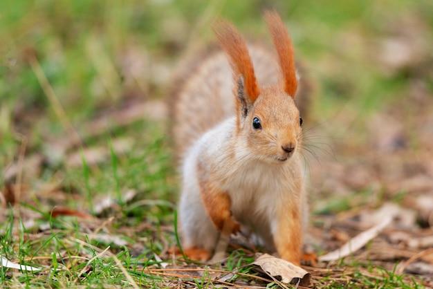 Czerwona wiewiórka siedzi na ziemi z podwiniętą nogą.