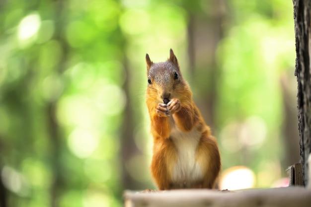 Czerwona wiewiórka siedzi w zielonym lesie. zdejmować