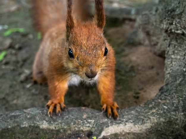 Czerwona wiewiórka w parkowym zakończeniu.