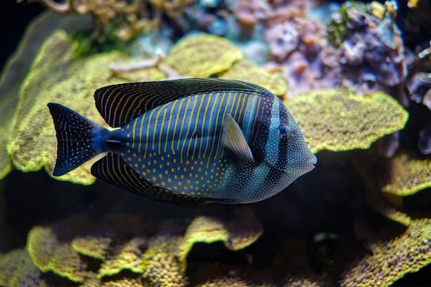 Czerwona żaglówka tangfish pod wodą w morzu