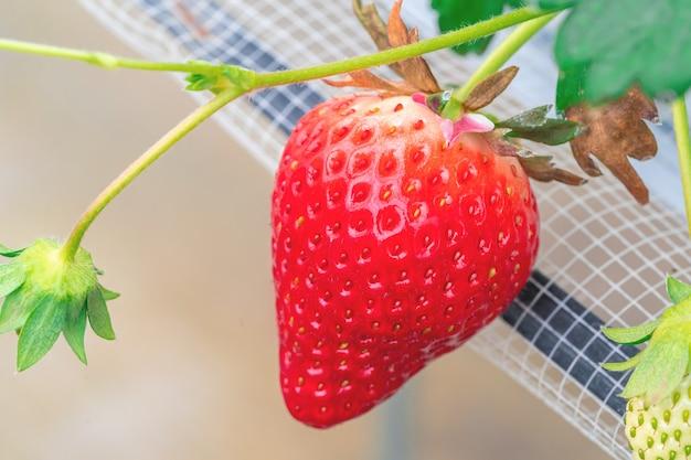 Czerwona zdrowa ekologiczna truskawka na zamkniętej plantacji