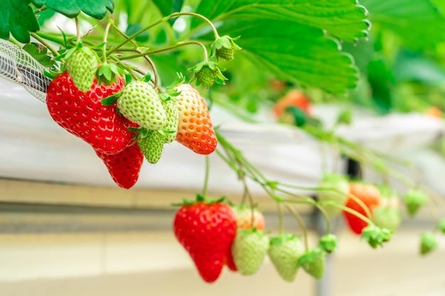Czerwona zdrowa organicznie truskawka w zamkniętej plantaci