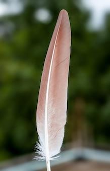 Czerwonawe pióro gołębia z bliska przed miękkim tłem bokeh