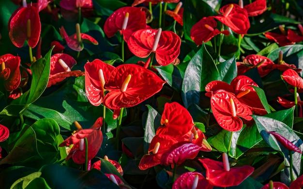 Czerwone anthurium flowes (tailflower, flamingo flower, laceleaf) z zielonymi liśćmi.