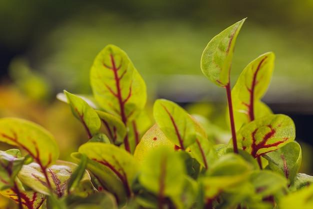 Czerwone buraki świeże kiełki i młode liście widok z przodu roślinne zioła i mikrogielony również burak ogrodowy