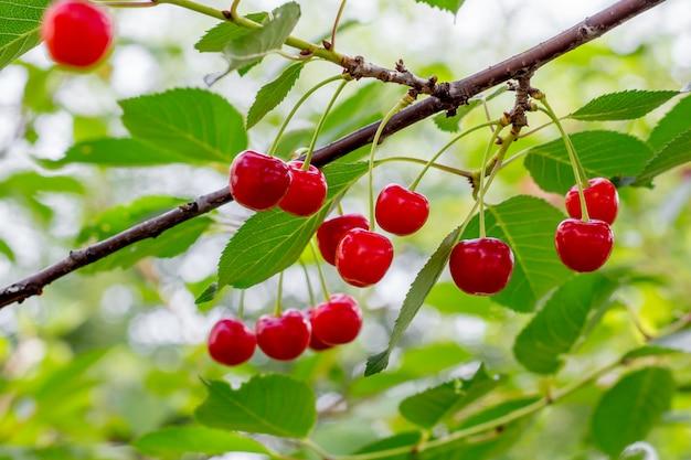 Czerwone dojrzałe jagody czereśniowe na gałąź