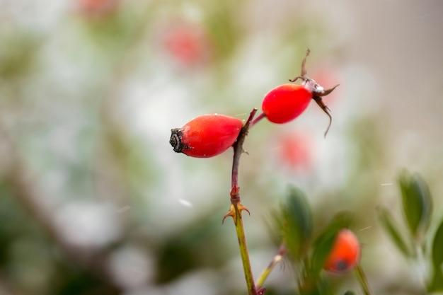 Czerwone dojrzałe jagody róży