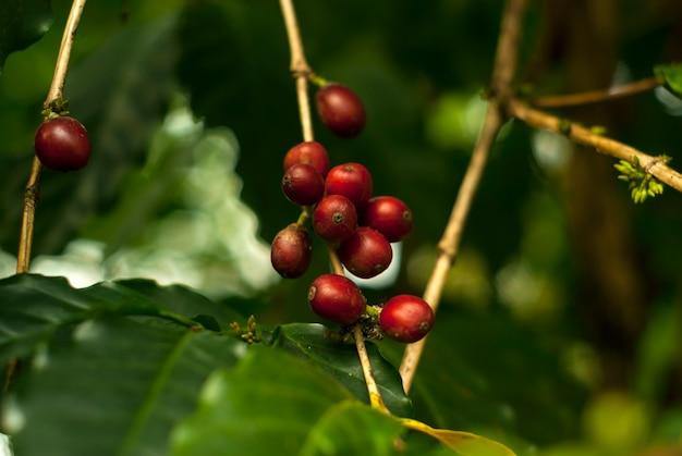 Czerwone dojrzałe owoce kawowe na drzewie kawowym