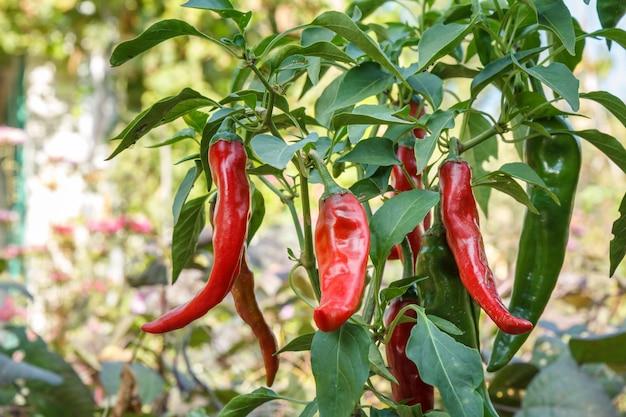Czerwone dojrzałe papryczki chili na łóżku ogrodowym z rozmytym naturalnym tłem