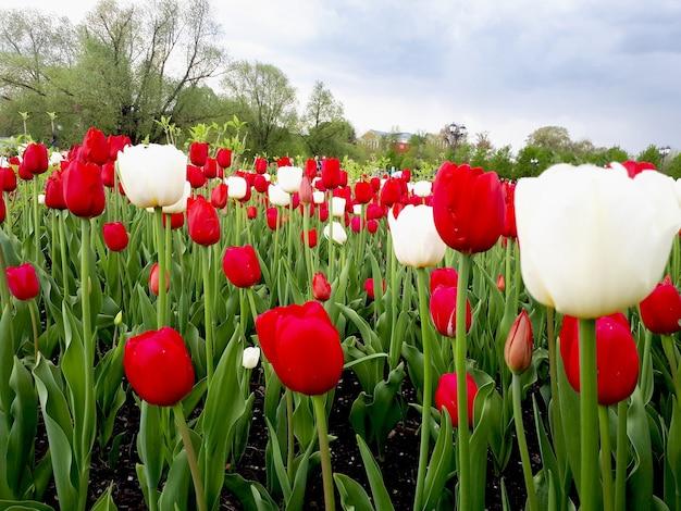 Czerwone i białe tulipany w słonecznym polu pięknych czerwonobiałych tulipanów latem