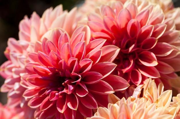 Czerwone i różowe kwiaty