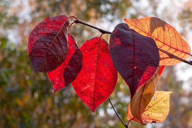 Czerwone i żółte duże liście na słońcu. selektywne skupienie płytkie na liściach, tło jest rozmyte.
