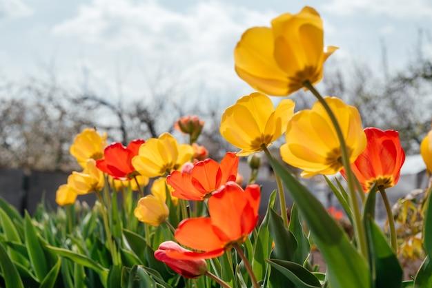 Czerwone i żółte tulipany kołyszące się na wietrze na zachmurzonym niebie
