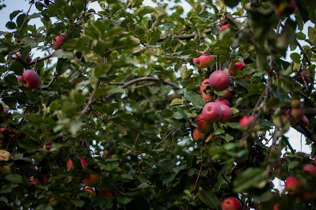 Czerwone jabłka kwitną w okresie żniw