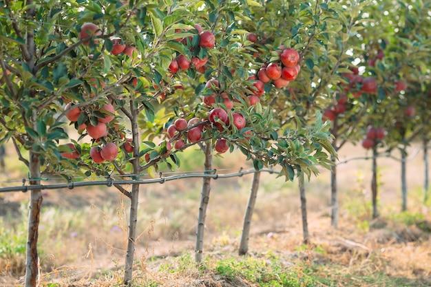 Czerwone jabłka na drzewach w polu