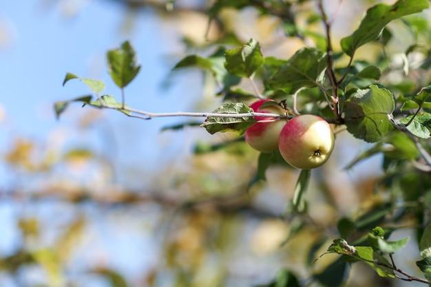 Czerwone jabłka na drzewie