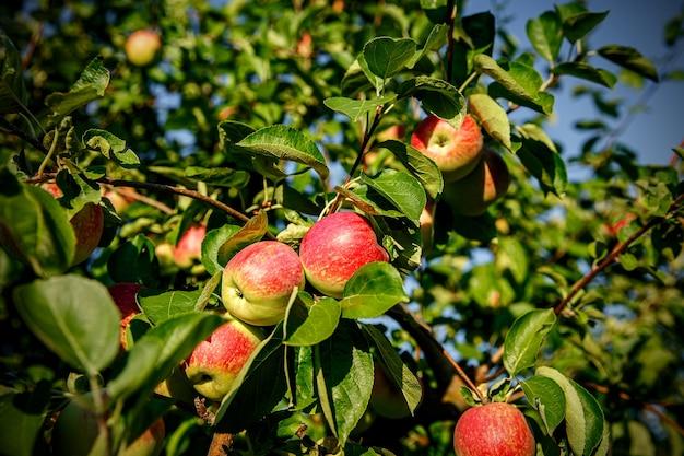 Czerwone jabłka na gałęziach drzew.