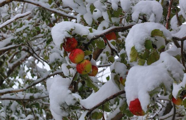Czerwone jabłka na śniegu na gałęzi
