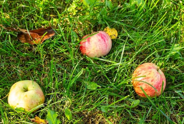 Czerwone jabłka na trawie. jesień tło - spadły czerwone jabłka na zielonej trawie w sadzie.