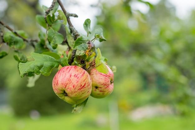 Czerwone jabłka rosną na gałęzi wśród zielonych liści. jabłka ekologiczne zwisające z gałęzi drzewa w sadzie jabłkowym.