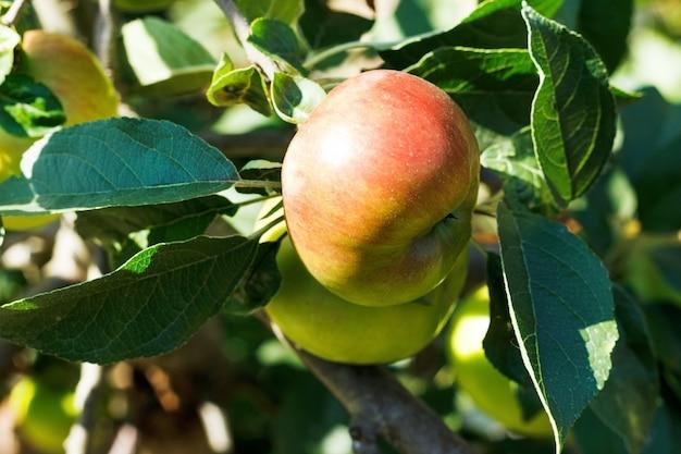 Czerwone jabłko na drzewie