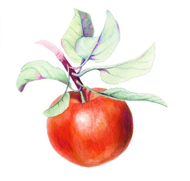Czerwone jabłko vintage akwarela ilustracja botaniczna