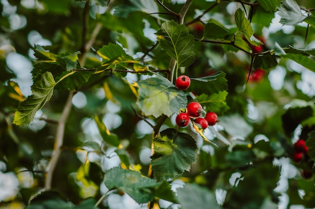 Czerwone jagody głogu na zielonym drzewie