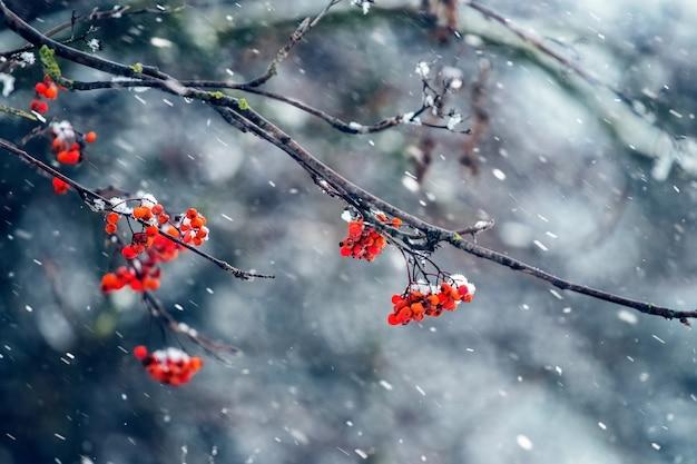 Czerwone jagody jarzębiny na drzewie podczas opadów śniegu