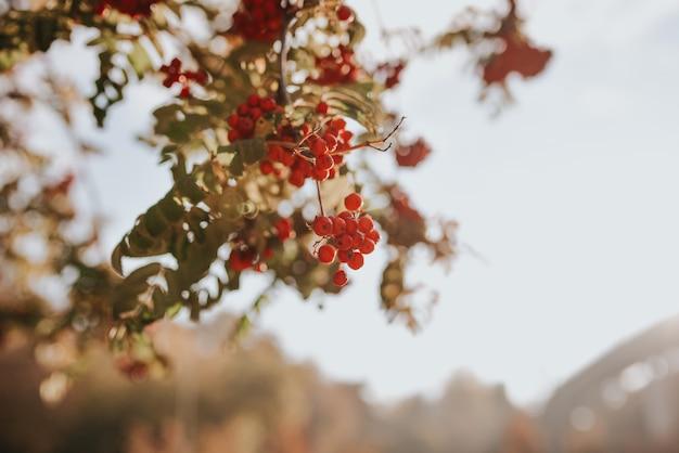 Czerwone jagody jarzębiny na gałęzi. jesienny krajobraz