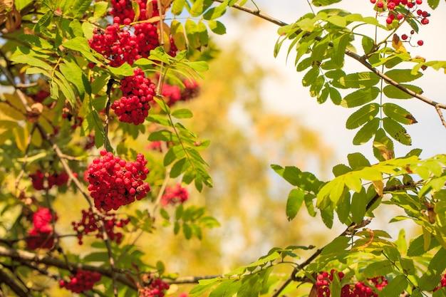 Czerwone jagody jarzębiny na gałęziach jarzębiny zbliżenie dojrzałych jagód jarzębiny w jesiennym ogrodzie