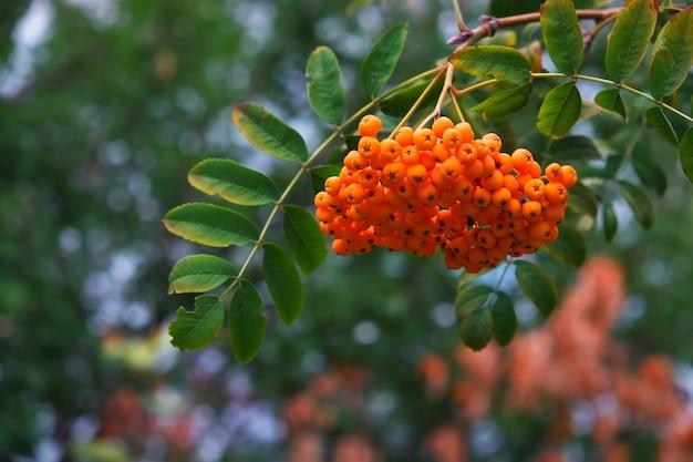 Czerwone jagody jarzębiny rosnące w tle jesień natura zbliżenie
