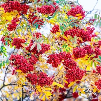 Czerwone jagody jarzębiny wśród żółtych liści jesienią