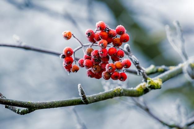 Czerwone jagody jarzębiny zimą