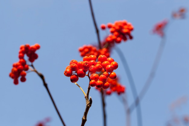 Czerwone jagody jarzębiny