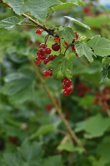 Czerwone jagody jesionowe na zielonych gałązkach