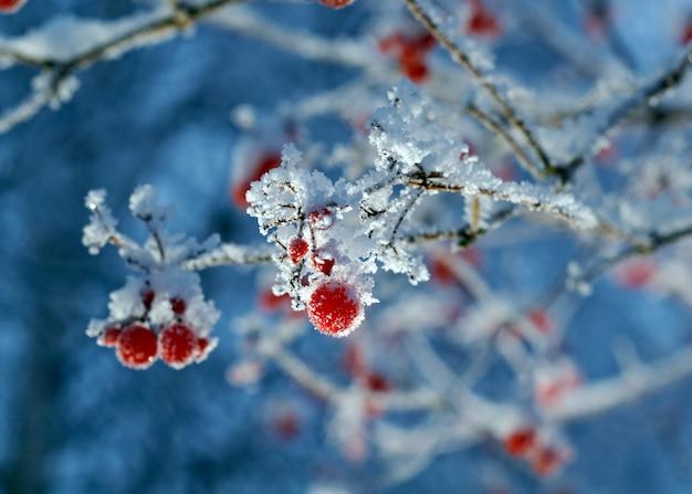 Czerwone jagody kaliny z szronem na gałęziach. zbliżenie