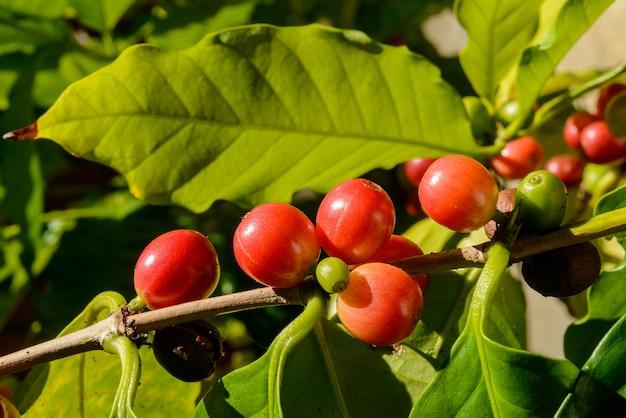 Czerwone jagody kawy na roślinie z bliska z rozmytym zielonym tłem liści.