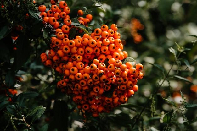 Czerwone jagody na jesionie. zamyka w górę dojrzałych pomarańczowych jarzębiny jagod