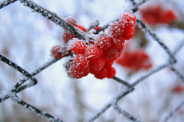 Czerwone jagody na mrozie