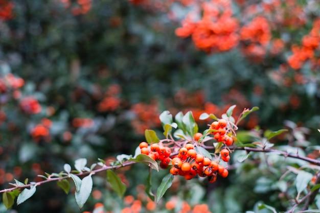 Czerwone jagody pyracantha coccinea jesienią
