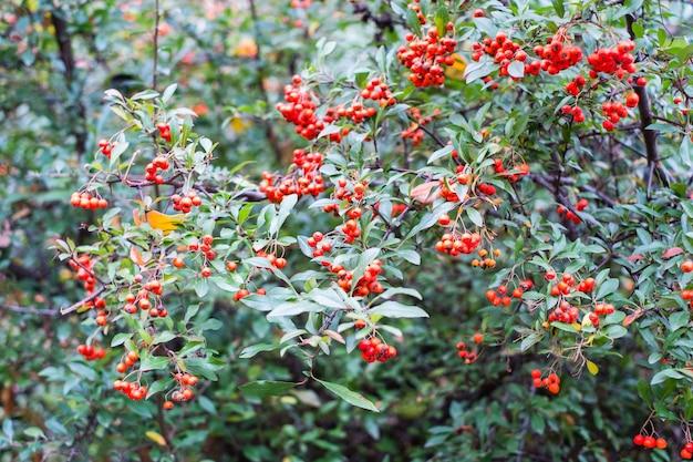 Czerwone jagody pyracantha coccinea w lecie