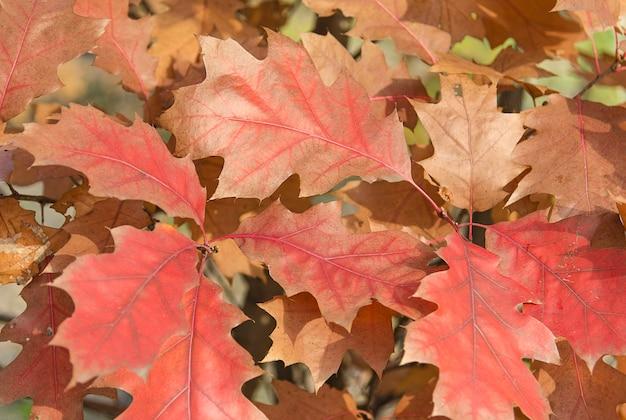 Czerwone jesienne liście na drzewie