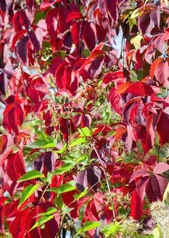 Czerwone jesienne liście (naturalne tło sezonowe)