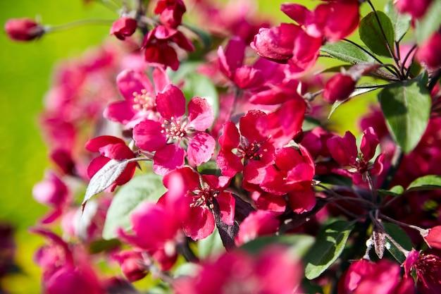 Czerwone kwiaty jabłoni, wiosenny kwiat