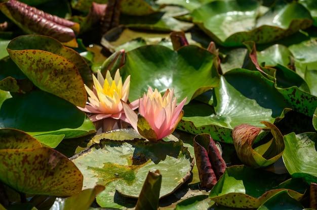 Czerwone kwiaty lilii wodnej (nymphaea alba f. rosea) w jeziorze. kwiat jest czerwoną odmianą lilii białej (nymphaea alba).