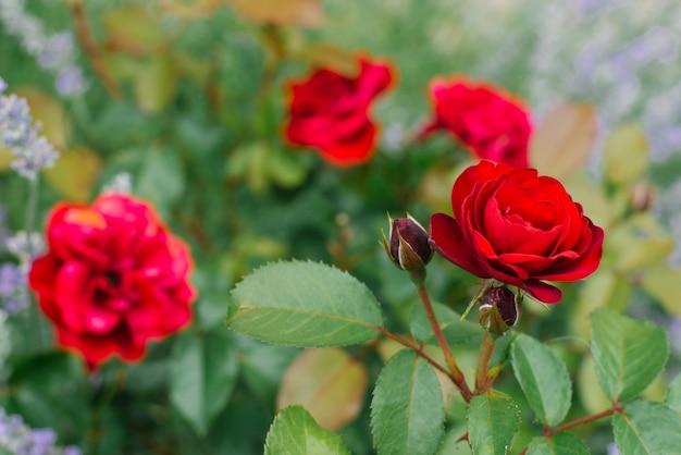 Czerwone kwiaty mini róże w ogrodzie kwitną latem