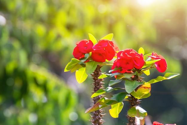 Czerwone kwiaty poi sian kwitnące w ogrodzie rano